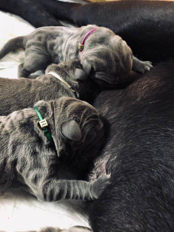 20df83e22 ... nám sivý a čierny psíkovia, sivé a čierne fenky, maminka to zvládla na  jednotku, všetky šteniatka sú rezervované a tešia sa na nové milujúce  rodiny :)